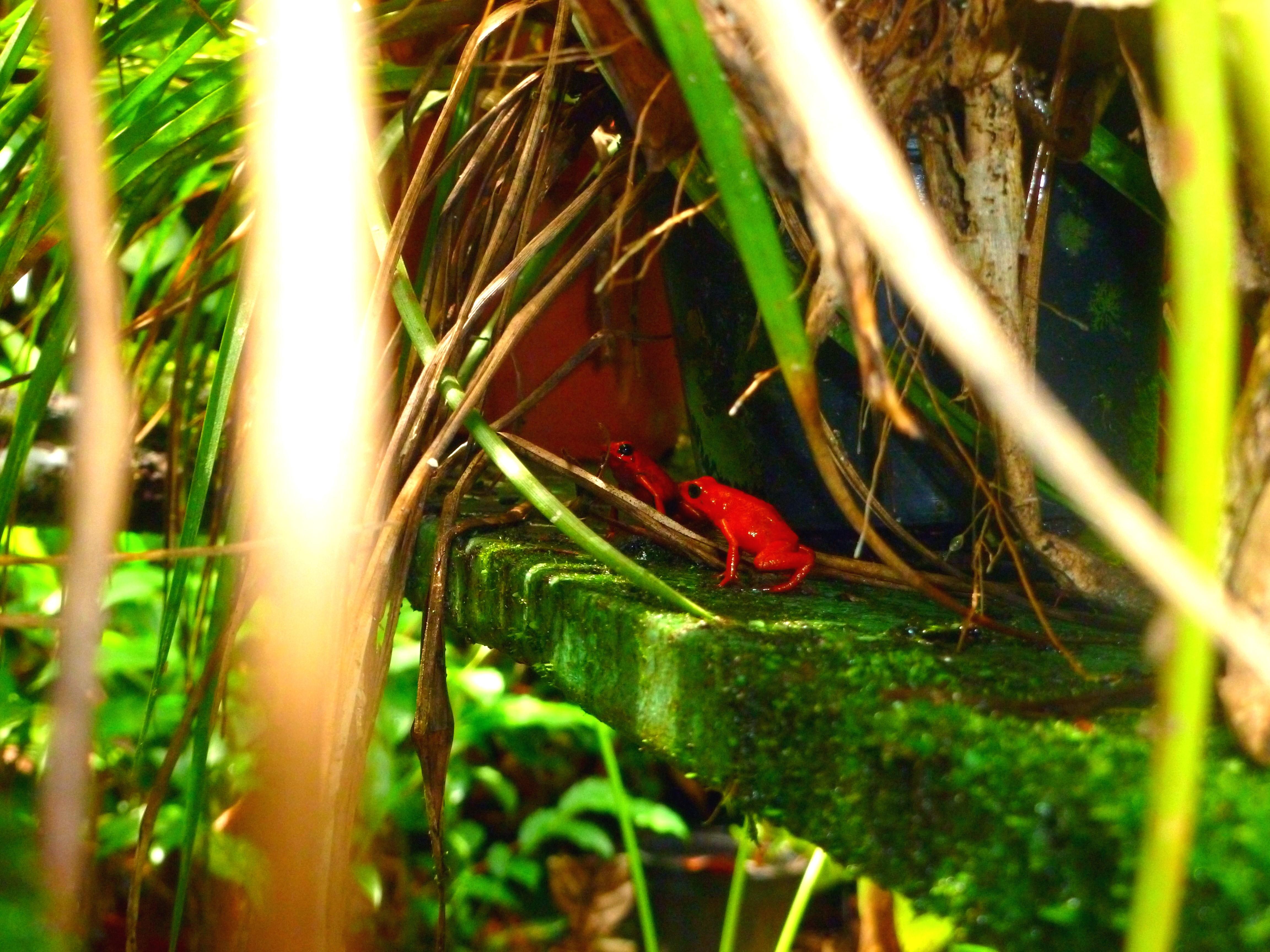 finca la isla permaculture dendrobate frog puerto viejo