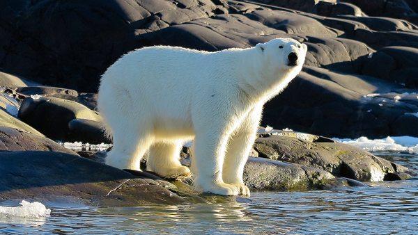 ours polaire fleur australe
