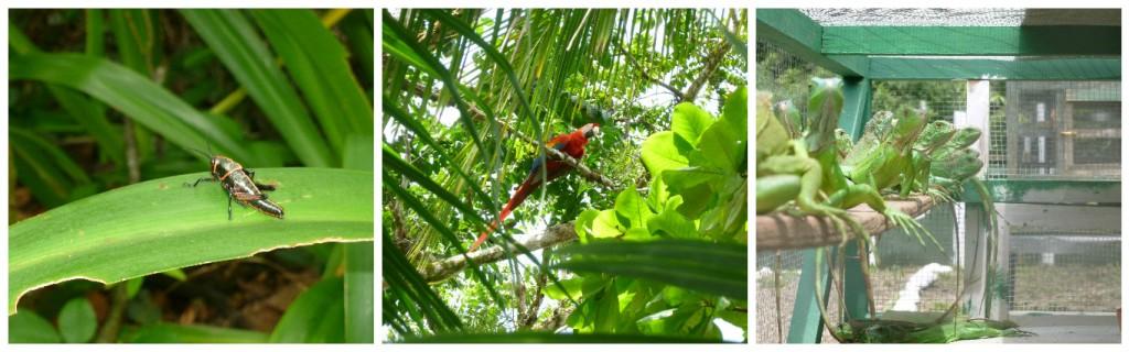 animaux costa rica sauterelle ara iguane