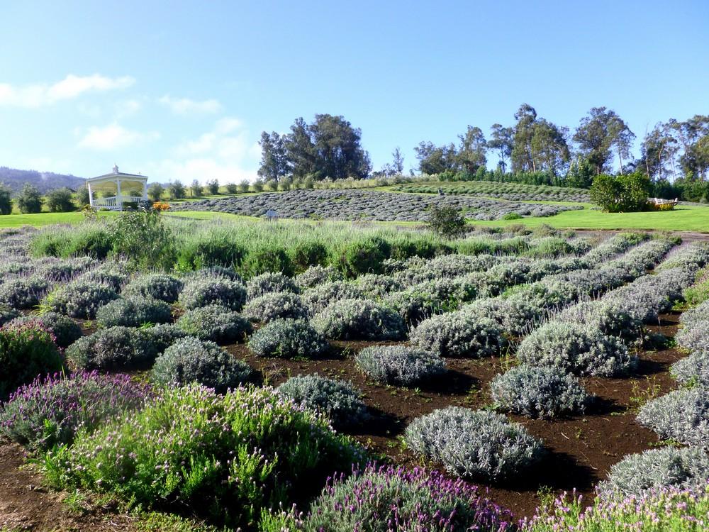 lavender garden maui