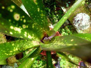 bromeliacee costa  rica trou eau dendrobate