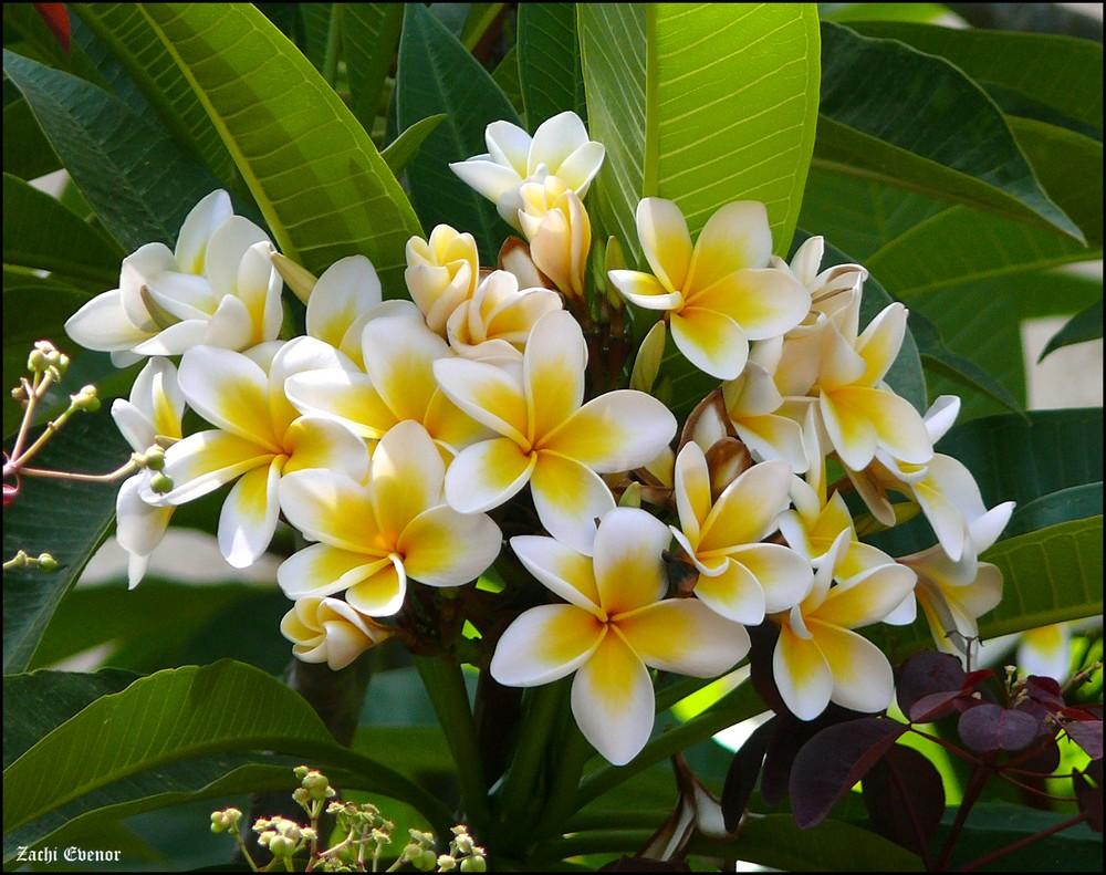 Coloriage Fleur Hawai.Fleur Hawaii