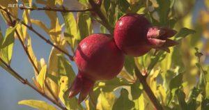 fruits arbre armenie grenade 360°GEO reportage