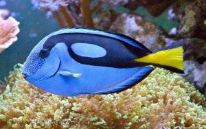 chirugien bleu poisson dory