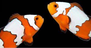 poisson clown forme élevage mutant blanc