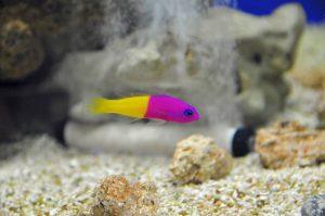 pseudochromidés poisson jaune violet