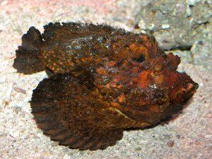 poisson pierre camouflage piqûre mortelle