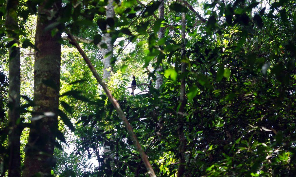 calao-gunung-leuser-sumatra