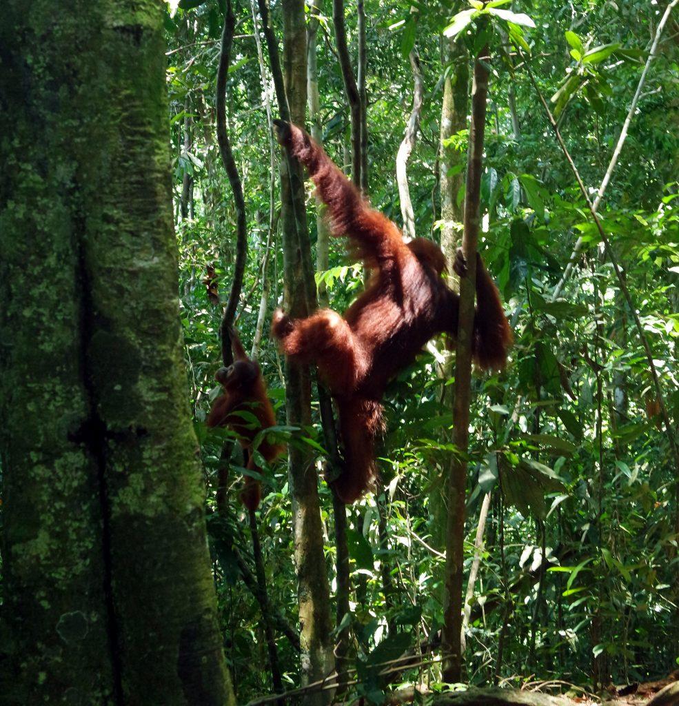 bebe-mere-orang-outan-sumatra