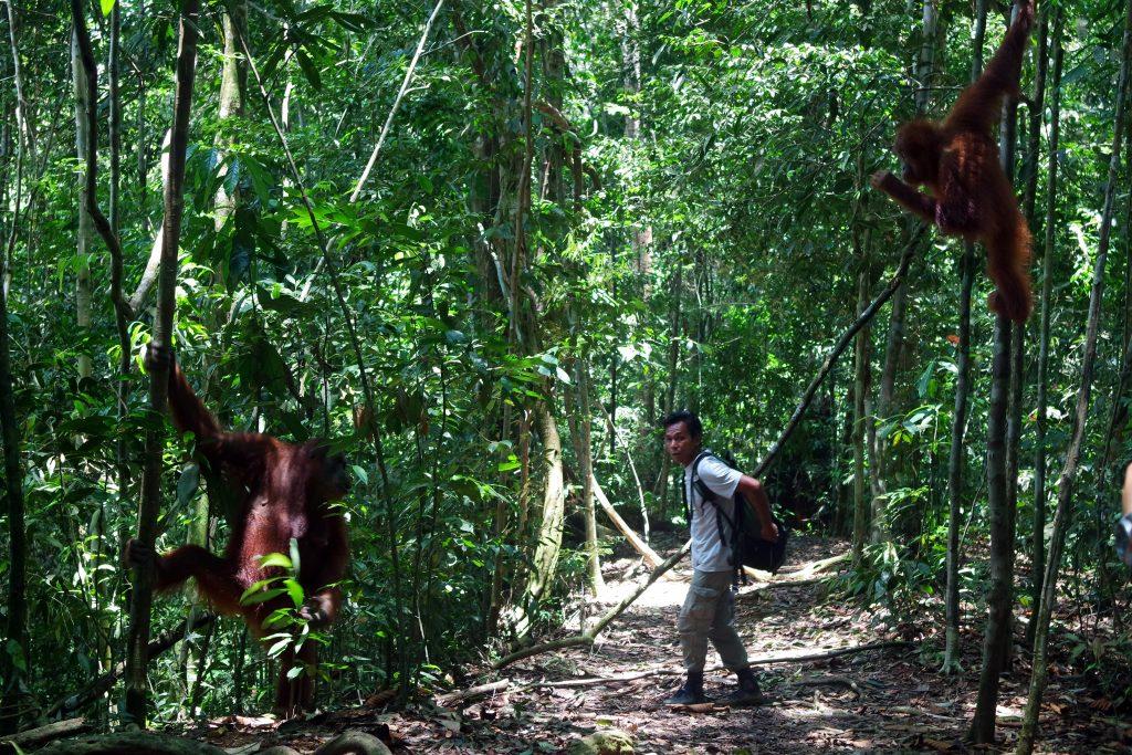 guide-orang-outan-gunung-leuser-sumatra