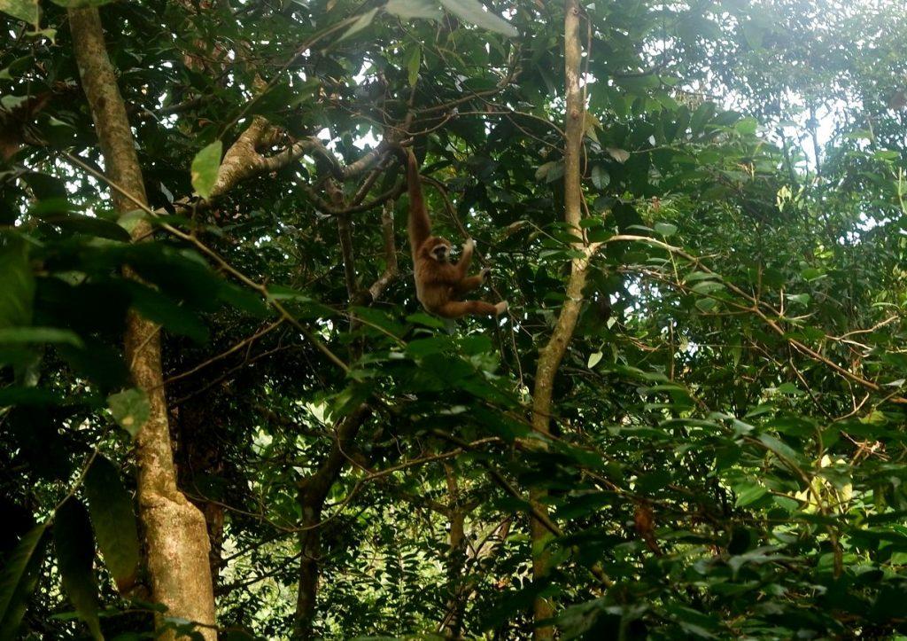 gibbon-gunung-leuser-sumatra