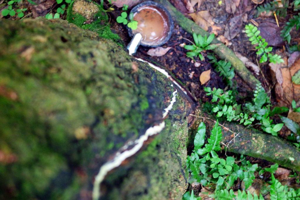 hevea-caoutchouc-sumatra