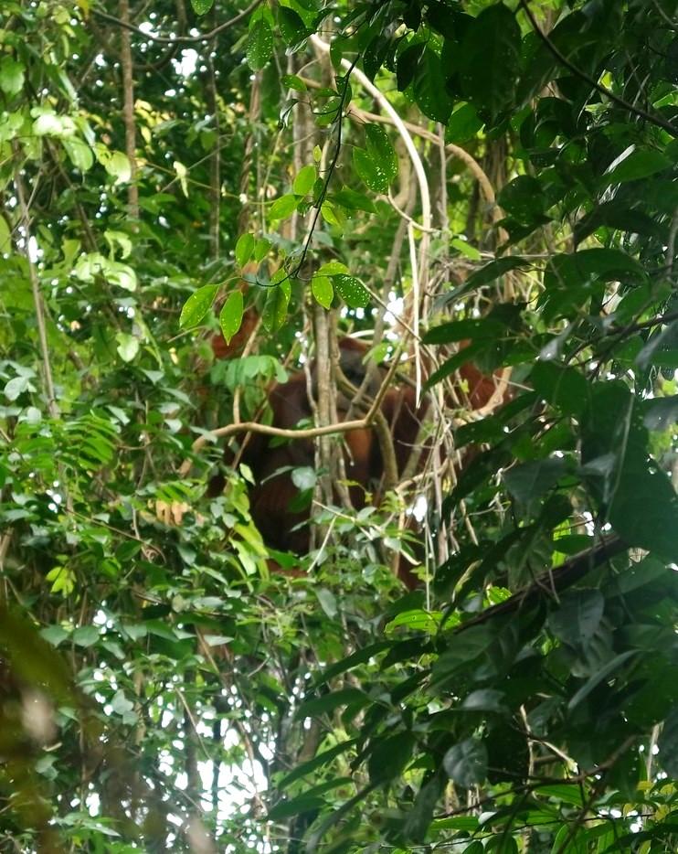 male-orang-outan-sumatra
