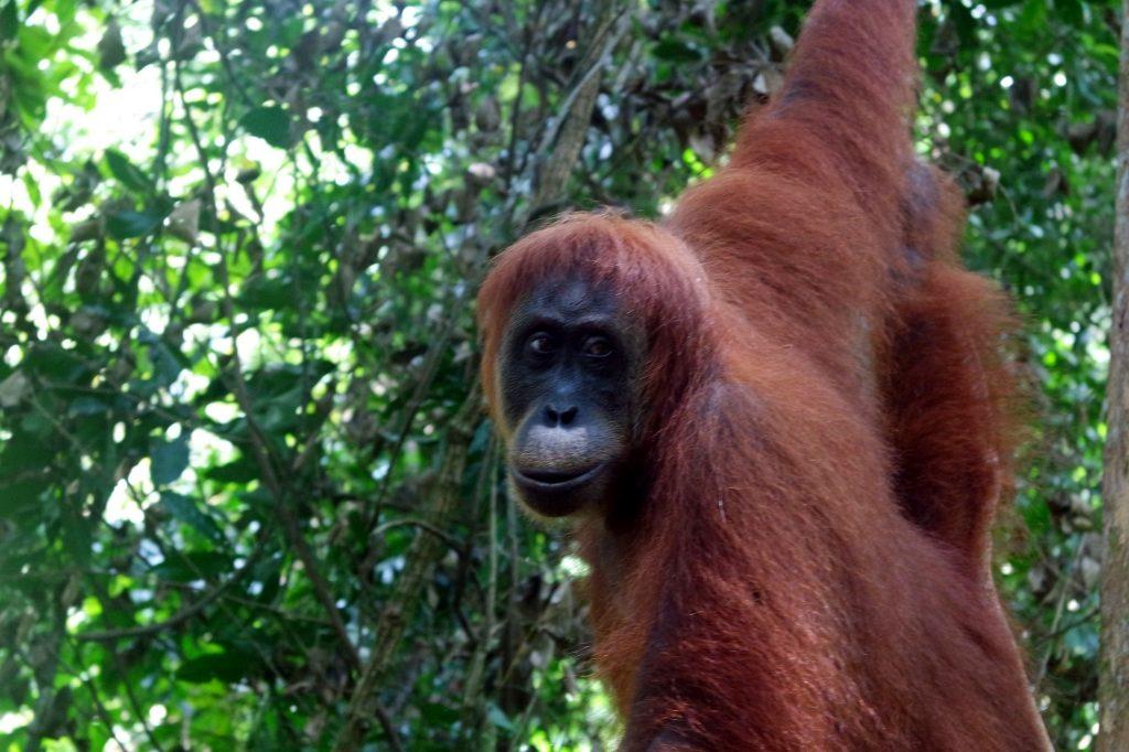 portrait-orang-outan-sumatra