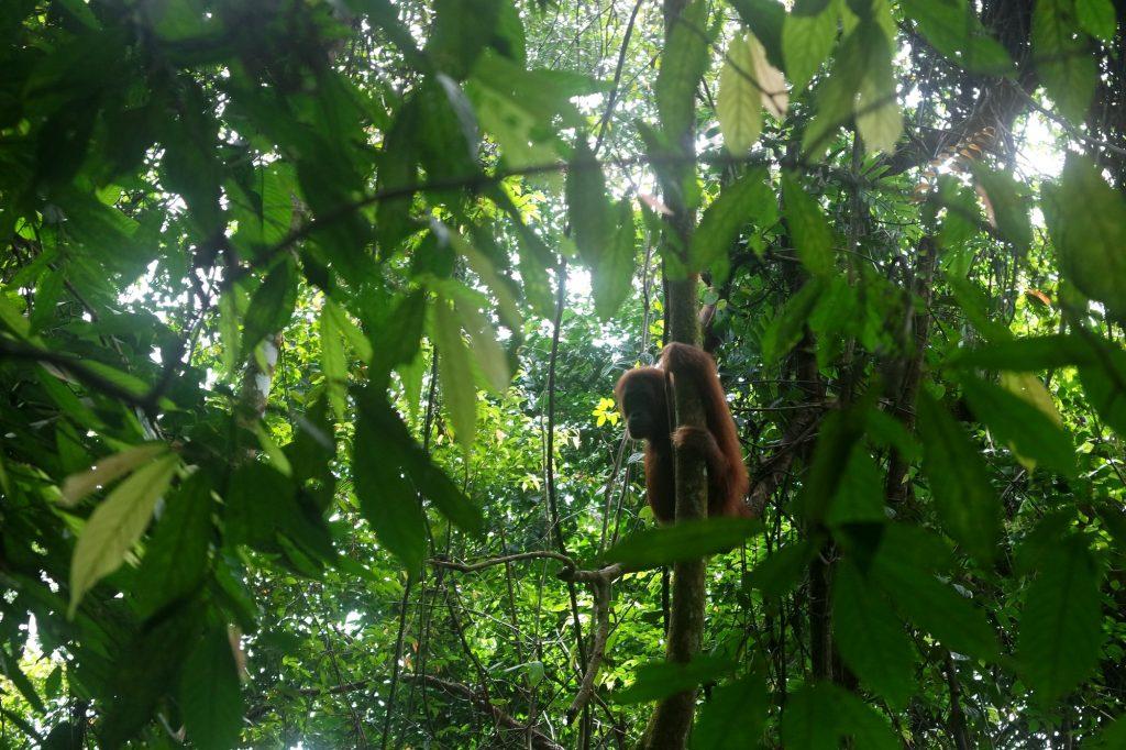 orang-outan-gunung-leuser-sumatra