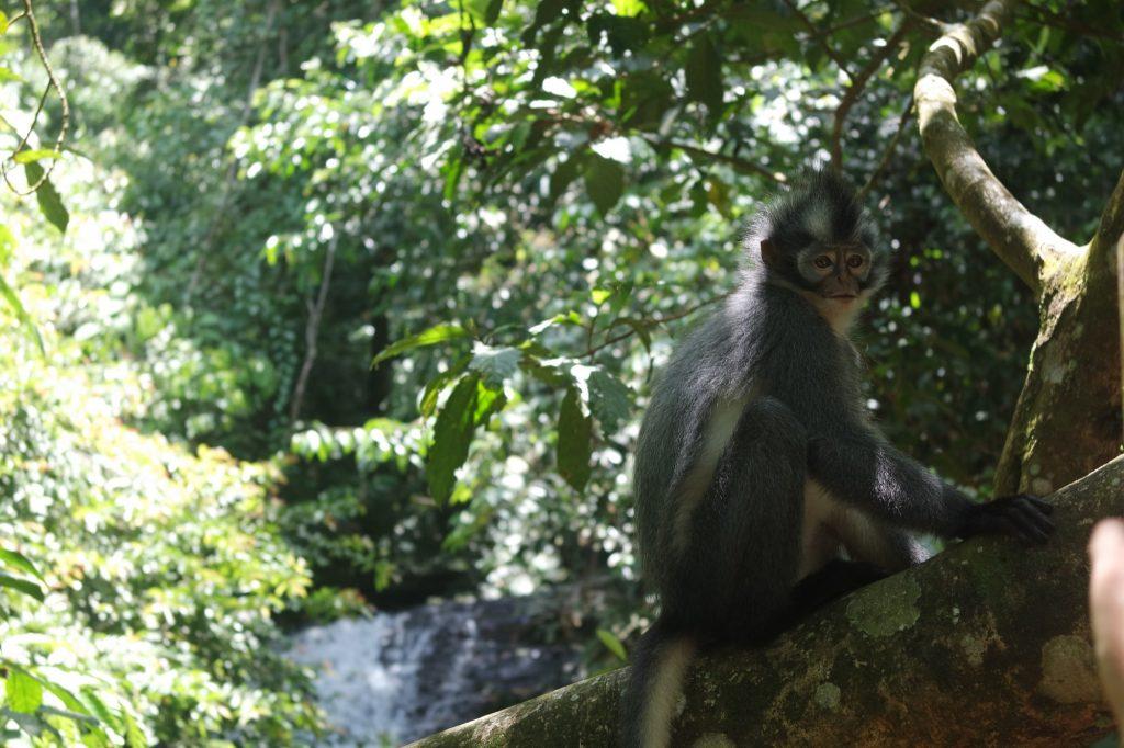 semnopithèque-thomas-gunung-leuser-sumatra