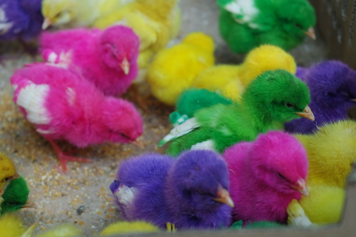Les poussins colorés du marché aux animaux de Yogyakarta