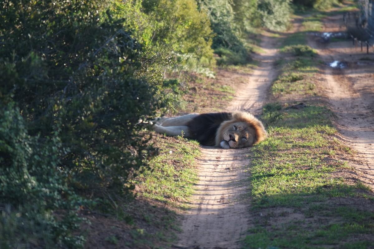 lion safari seul afrique sud