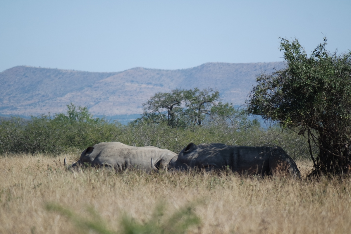 rhinoceros hluhluwe