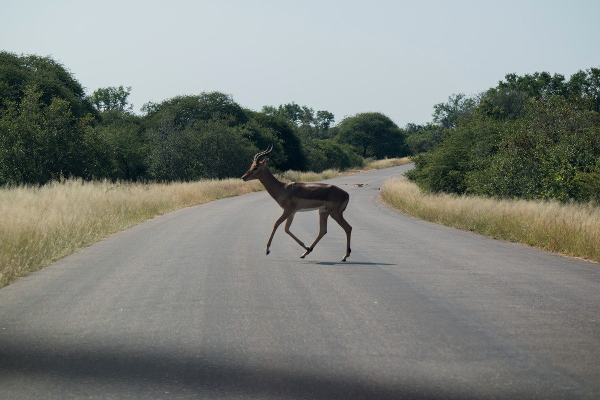antilope traversant la route