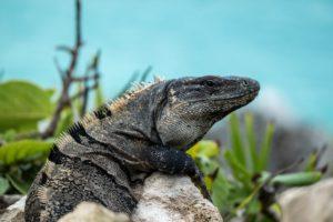 iguana tulum yucatan